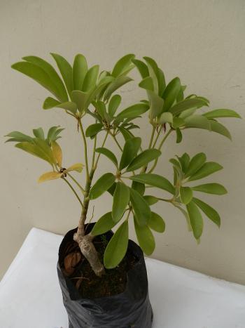 S. verde