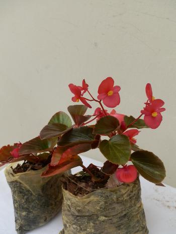 Begonia yamalia