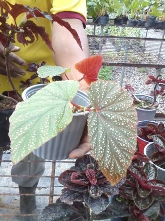 Begonia Perico
